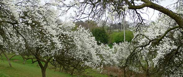 Damson Blosssom in full bloom